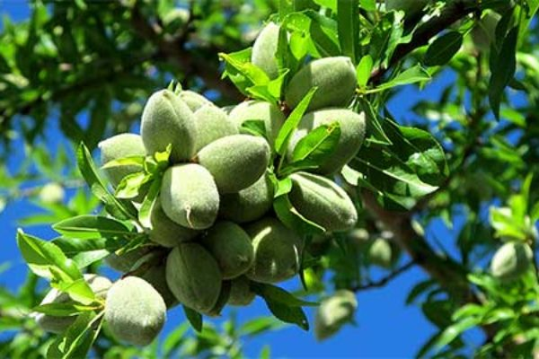 California Almonds: Production Forecast 2.8% Above Last Year