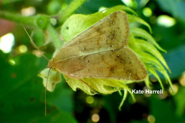 North Carolina Cotton: Be Prepared to Spray Bt Fields for Bollworms