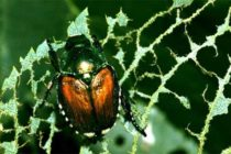 Illinois: Insects to Keep Watch for in Your Fields