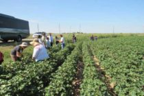 Kansas Field Tour: EPA Officials Get Close and Personal with Palmer Amaranth