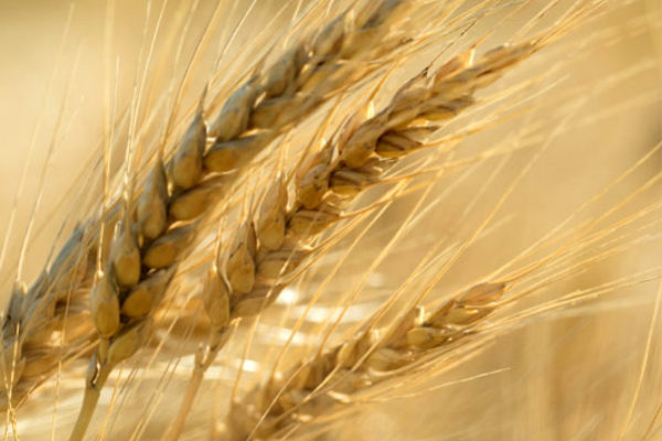 Oklahoma Wheat: Contract Price Decline Underscores Need to Grow, Market Quality Product