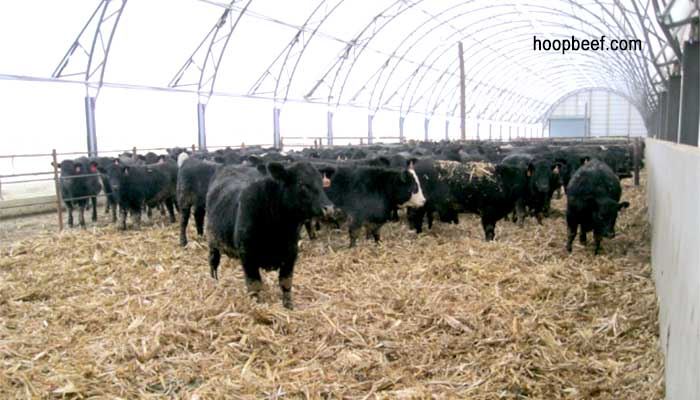 raise barns using calves under year hoop agfax dtn round livestock building roof to