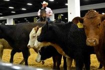 DTN Livestock Midday: Live Cattle Hold Triple-Digit Gains