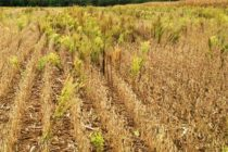 Ohio Soybeans: Are Fall Herbicides Required in Xtend Fields?