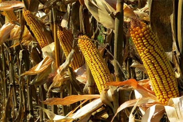 Ohio Corn: How Will Cool Weather Affect Dry Down?