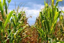 Alabama Corn: Good Sunlight Critical for High Yields