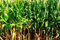 Mississippi: Crop Prices Ahead on Production Estimates