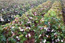 Virginia Cotton: Improved Forecast Gives Green Light to Defoliation