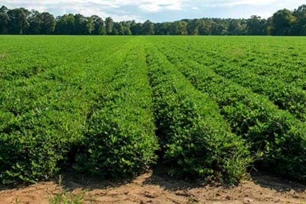 Virginia Peanuts: Still About 3 Weeks from Digging