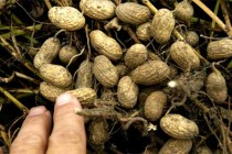USDA: Peanut Price Highlights