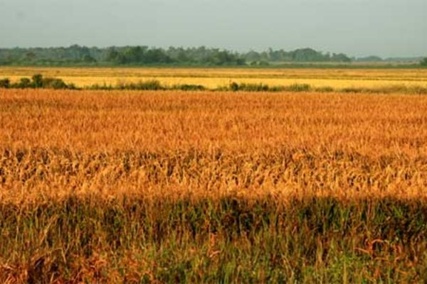 Missouri: Rice Field Day, Malden, Aug. 24