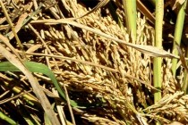 Global Rough Rice Prices Unchanged from Last Week