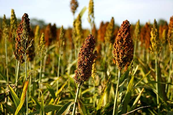 Mississippi: Sorghum Yields Shine; Acreage and Prices Sag