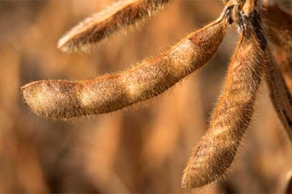 DTN Grain Midday: Corn Mixed; Soybeans, Wheat Lower