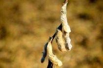 Mississippi Soybeans: Rain Delays Likely Hurt State's Crop