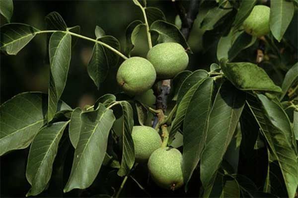 California Walnuts: Production Check List Through This Summer