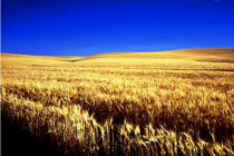 Wheat Market: Futures Tumble, While Protein Premiums Soar