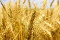 Welch on Wheat: Exports Just Below USDA's Weekly Pace