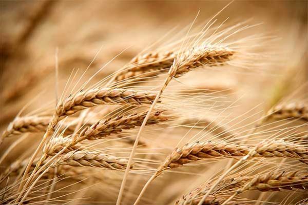 Global Markets: Wheat – Black Sea Region Gains Market Share from Traditional Exporters