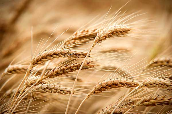 dtn grain midday wheat takes the lead agfax