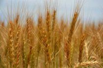 Global Markets: Wheat – Sub-Saharan Consumption Outpacing Production; Pushes Imports Higher