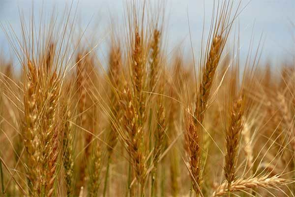 WASDE Wheat: U.S. Supplies, Production Lowered