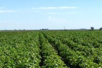 Texas: Bailey County cotton field day, Muleshoe Oct. 5