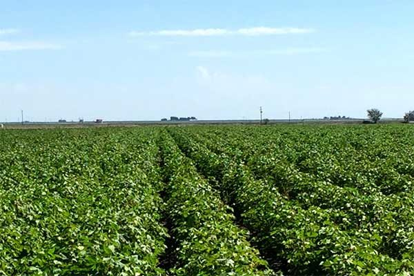 Flint on Crops: Tillage Can Delay Cotton Maturity – Commentary