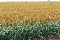 Kansas Sorghum: 30-Year Study Indicates Need to Tap Genetic Diversity for Future Heat Stress