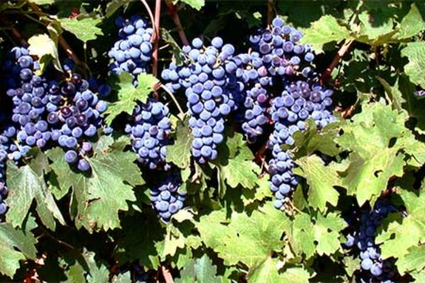 Texas: Advanced Grape Grower Workshop, Fredericksburg, June 19-20