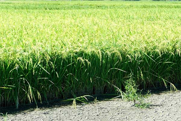 Mississippi: Rice Producer Field Day, Stoneville, Aug. 2