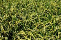 Rice Update: Free for All for Old Crop Based on Local Supply & Demand