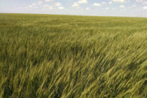 Kansas: New Winter Wheat Varieties Available for Fall Planting