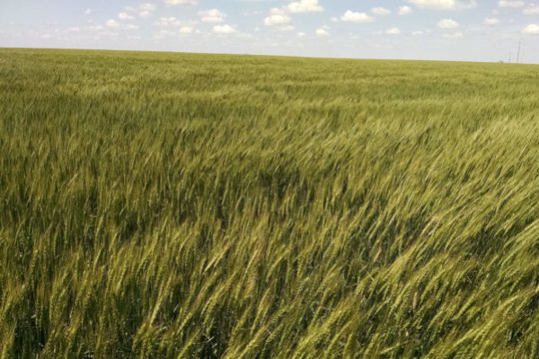 AgriMAXX Wheat Expands Seed Offerings Into Central Plains