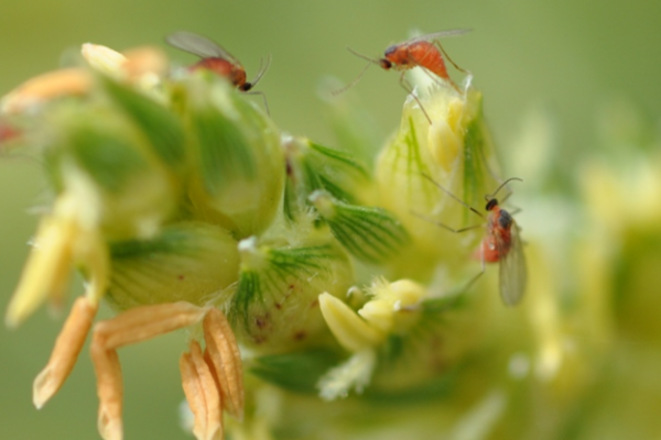 Texas Sorghum: Scouting for Sorghum Midge, Panicle Pests – Videos