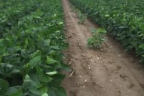 Mississippi Soybeans: Missing Rows in Twin Row Fields