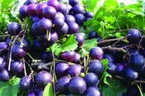 Georgia Muscadines: New Paulk Variety Offers Significant Benefits