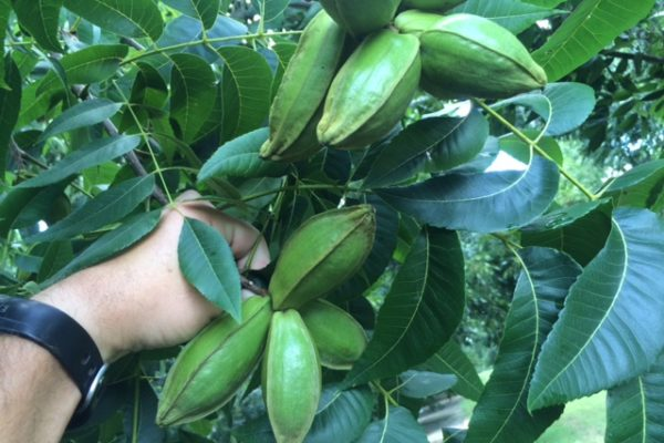Oklahoma: Pecan Management Course to Begin Feb. 27