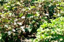 Texas LRGV Cotton: Crop Maturing Nicely, Watch for Plant Bugs in Late Planted Fields