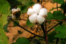 AgFax Midsouth Cotton: Harvey Approaching – This Can't Be Good