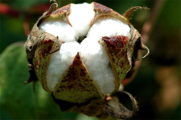 DTN Cotton Open: Ticks Quietly on Mostly Slight Gains