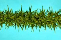 Palmer Pigweed – High Variability Makes Proper Identification Critical