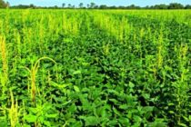 """Weed Scientists: """"Buffer Zones"""" Could Become Resistant Weed Nurseries; Do and Don't  List – DTN"""