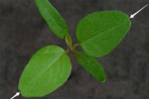 I.D. Weed Seedlings: Common Waterhemp and Palmer Amaranth Differences
