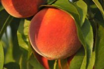 South Carolina Peaches: No Plum Pox in Almost 9,000 Fruit Samples