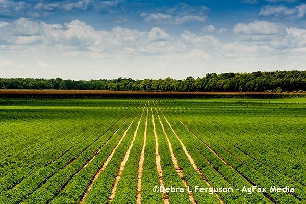 Sawyer On Crops: Peanuts – Disease, Nematode Control On Front End – Podcast