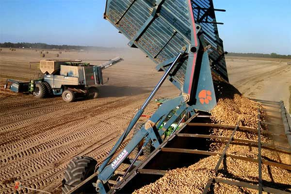 Georgia Field Reports: Peanut Harvest Takes Off, Cotton Expected to Pick Up