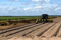 Alabama Peanuts: Planting Date, Seeding Rate Impacts on Disease, Yield