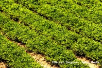 South Carolina Peanuts: 8 Questions for Dryland Weed Management