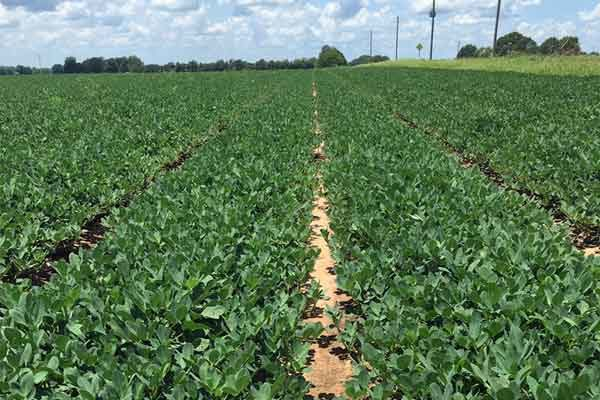 Alabama: Southwest Cotton, Peanut Production Meetings On Tap In February